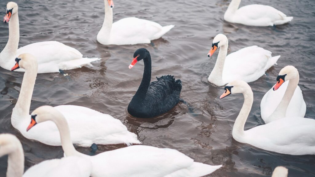 En sort svane blandt en flok hvide svaner svømmer i en sø